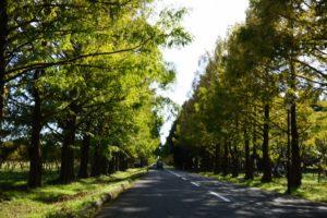 メタセコイア並木道の紅葉はいつ?滋賀県へのアクセスや駐車場はどこ?